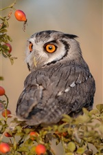 Preview iPhone wallpaper Owl look back, red berries
