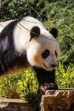 Panda walk, bushes