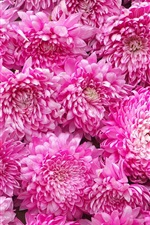 Preview iPhone wallpaper Pink chrysanthemum background