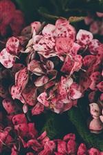 Preview iPhone wallpaper Pink hydrangea, spots
