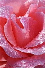 Pink rose close-up, petals, water drops