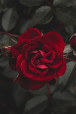 Red rose, darkness