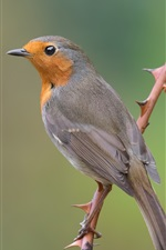 Robin bird, twig