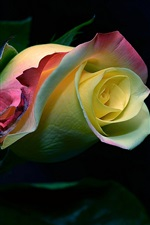 Preview iPhone wallpaper Rose flower bud, colorful petals