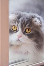 Preview iPhone wallpaper Scottish fold kitten, yellow eyes, window