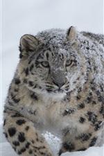 Snow Leopard, snow, winter