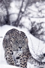Preview iPhone wallpaper Snow leopard, snow, winter, slope