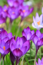 Preview iPhone wallpaper Spring, crocuses flowering