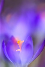 Preview iPhone wallpaper Spring flowers, blue crocuses macro photography