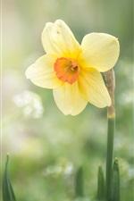 Primavera, flor de narciso amarelo único