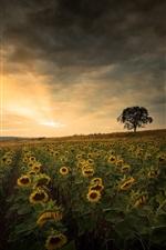 Preview iPhone wallpaper Summer, sunflowers field, tree, sunset