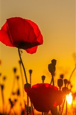 Preview iPhone wallpaper Sunset, poppies field, red flowers