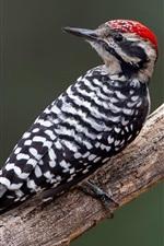 Preview iPhone wallpaper Texas woodpecker, beak, tree