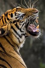 Preview iPhone wallpaper Tiger look back, roar, teeth