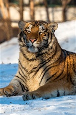 Preview iPhone wallpaper Tiger rest on snow, winter