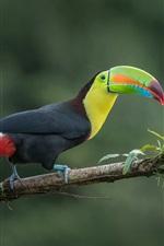 Preview iPhone wallpaper Toucan, jungle bird