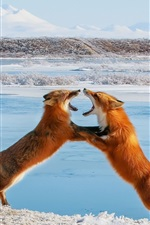 Preview iPhone wallpaper Two foxes playful, winter, snow, trees