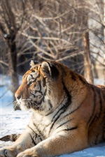Preview iPhone wallpaper Two tigers rest, snow, trees, winter