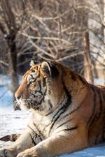 Vorschau des iPhone Hintergrundbilder Ruhe mit zwei Tigern, Schnee, Bäume, Winter