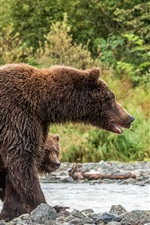 Preview iPhone wallpaper Wet brown bears, family, stones, river