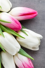 White and pink tulips, gray background