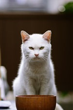 Preview iPhone wallpaper White cat front view, bowl