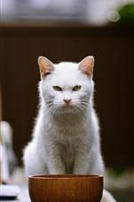 Vista frontal de gato branco, tigela
