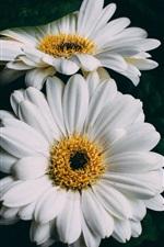 iPhone壁紙のプレビュー 白いガーベラの花のクローズアップ