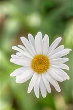 Preview iPhone wallpaper White petals daisy, bokeh