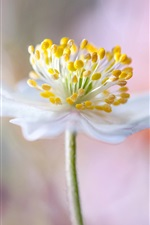 Preview iPhone wallpaper White petals flower macro photography, pistil, bokeh