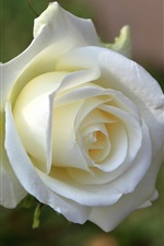 Preview iPhone wallpaper White rose, petals, flower