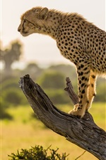 Preview iPhone wallpaper Africa, cheetah, tree