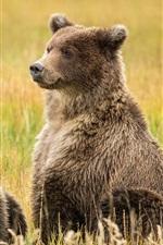 Alaska, Lake Clark, two brown bears in the grass