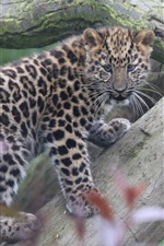 iPhone fondos de pantalla Amur leopard cub climb tree