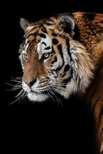Preview iPhone wallpaper Amur tiger look back, face, black background