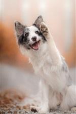Preview iPhone wallpaper Australian shepherd, dog, paw