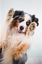 Preview iPhone wallpaper Australian shepherd, dog, paws