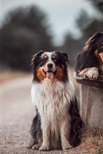 Preview iPhone wallpaper Australian shepherd, two dogs, bench