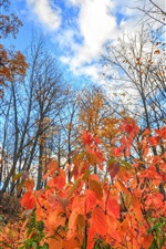 Autumn, red leaves, trees, blue sky