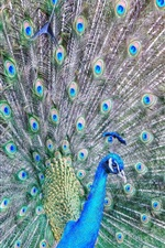 Preview iPhone wallpaper Beautiful peacock, feathers, tail