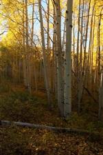 iPhone fondos de pantalla Abedul, bosque, rayos del sol
