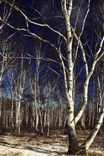 Preview iPhone wallpaper Birch, forest, tree, dusk