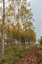 Bétulas, grama, folhas, outono