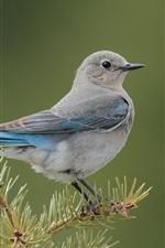 Bird, spruce, twigs