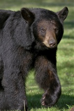 Preview iPhone wallpaper Black bear, predator, walk