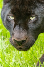 Preview iPhone wallpaper Black panther, face, grass