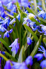 Preview iPhone wallpaper Blue flowers flowering, spring