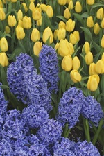 Preview iPhone wallpaper Blue hyacinths and yellow tulips