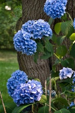 Preview iPhone wallpaper Blue hydrangea flowering, tree