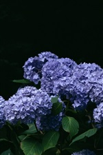 Blue hydrangea flowers, bokeh